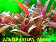 Альтернатера мини. НАБОРЫ растений для запуска акваса. Почтой и маршру
