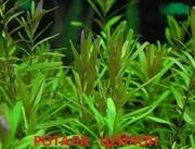 Ротала цейлон. НАБОРЫ растений для запуска. ПОЧТОЙ и МАРШРУТКОЙ отправ