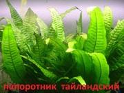 Папоротник тайландский.НАБОРЫ растений для запуска. П0ЧТОЙ