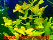 Дубок  мексиканский - НАБОРЫ растений для запуска. Почтой отправлю
