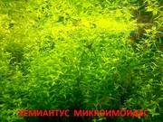 Хемиантус микроимоидес. НАБОРЫ растений для запуска. ПОЧТОЙ и МАР