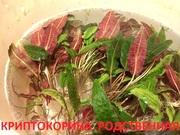 Криптокорина родственная. НАБОРЫ растений для запуска. Почтой отправ