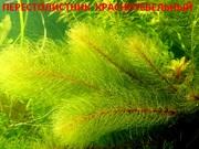 Перестолистник красностебельный.. НАБОРЫ растений для запуска. ПОЧТОЙ)