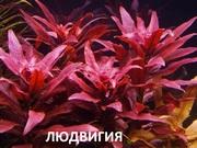 Людвигия гландулоза. НАБОРЫ растений для запуска. ПОЧТОЙ и МАРШРУТК