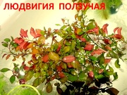 Людвигия ползучая. НАБОРЫ растений для запуска. ПОЧТОЙ отправ