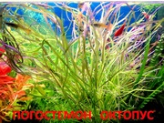 Погостемон октопус. НАБОРЫ растений для запуска. УДОБРЕНИЯ. ПОЧТОЙ.