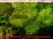 Лимнофила седячецветковая. НАБОРЫ растений для запуска. УДОБРЕНИЯ. ПО