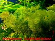 Лимнофила седячецветковая. НАБОРЫ растений для запуска. УДОБРЕНИЯ. П