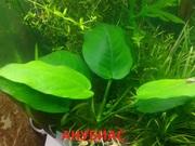 Анубиас нана. НАБОРЫ растений для запуска. УДОБРЕНИЯ. ПОЧТО