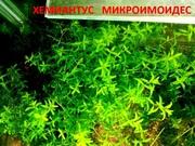 Хемиантус микроимоидес. НАБОРЫ растений для запуска. ПОЧТОЙ-