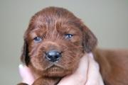 Питомник, щенки -Ирландского сеттера