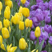 Букеты,  тюльпаны к 8 марта оптом и в розницу