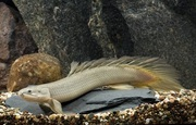 Полиптерус синегальский