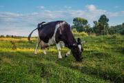 Корова высокопродуктивная