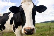 Корова породистая молочная