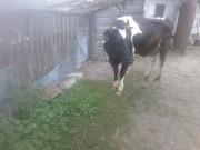 Продам молочных коров